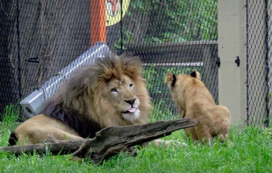 Dráma az állatkertben: kivégezte párját a nőstényoroszlán