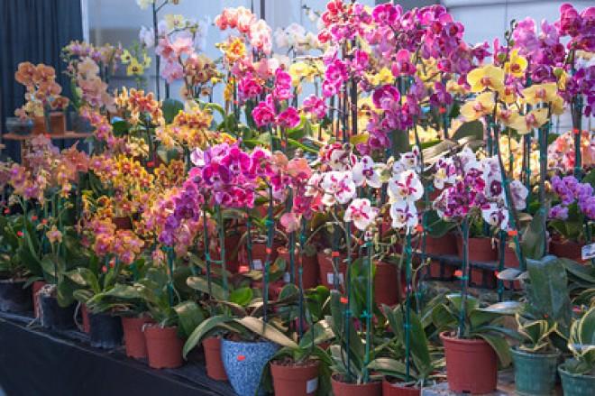 Az orchidea igazi túlélő! Csak érteni kell hozzá!