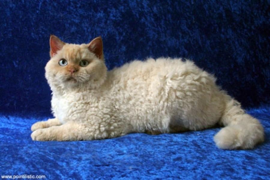 Futótűzként terjed! Te láttál már göndör szőrű macskákat?