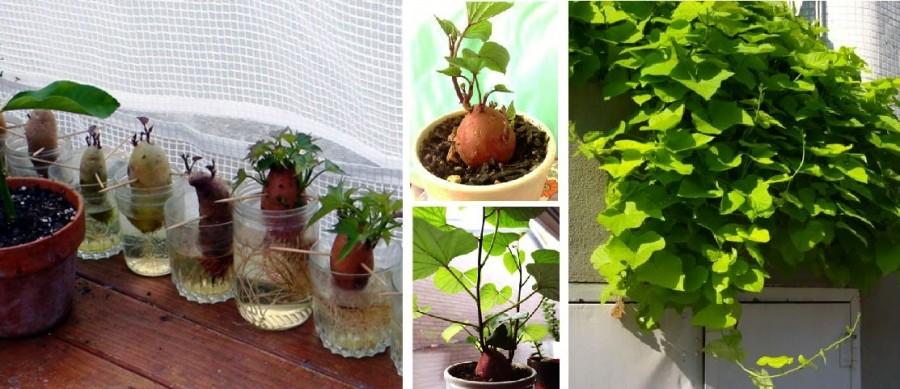 Mutatjuk hogy nevelj csodaszép növényt az édesburgonyából!