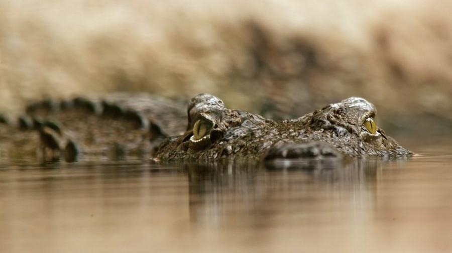 Krokodilt videóztak egy folyóban Galgóc közelében