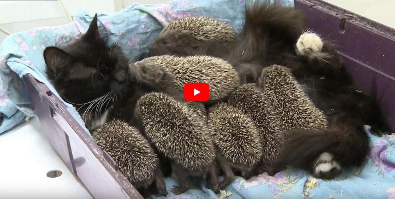 Egy cica örökbe fogadott nyolc sünkölyköt, akiknek valódi anyjává vált. Megható videó!